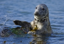 Grey Seal (Tom McDonnell)