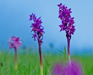 Early Purple Orchid (Tom McDonnell)