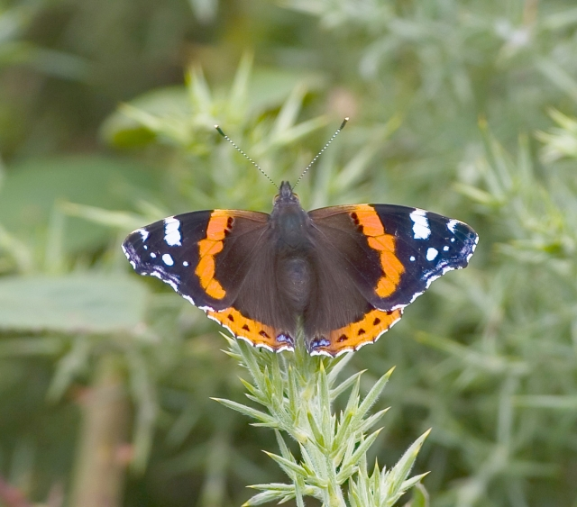 Red Admiral Butterfly (Tom McDonnell)