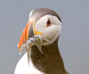 Atlantic Puffin (Tom McDonnell)