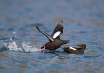 Black Guillemots (Tom McDonnell)