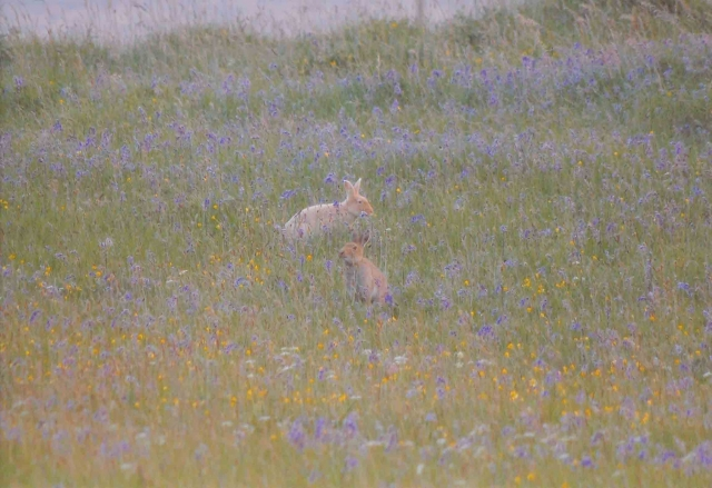 Commended: 'Hares and Bluebells', Lukas Becker