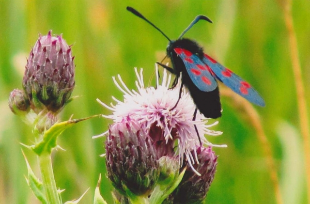 Highly Commended: Fran McCloskey, 'Burnet Moth'